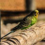 セキセイインコの病気と老鳥の止まり木の調整について