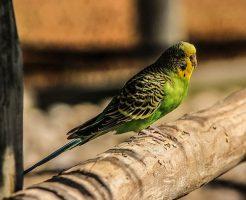 セキセイインコ 老鳥 病気 止まり木