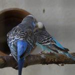 セキセイインコの換羽、症状はどんな感じ?