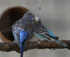 セキセイインコ 換羽 症状
