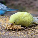 セキセイインコのヒナの飼い方と病気の時の強制給餌について