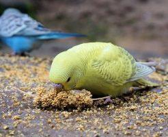 セキセイインコ ヒナ 病気 強制給餌