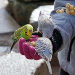 セキセイインコの雛の餌を、ひとり餌に切り替える時期について