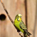 セキセイインコの病気、放鳥の事故