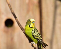 セキセイインコ 放鳥 事故