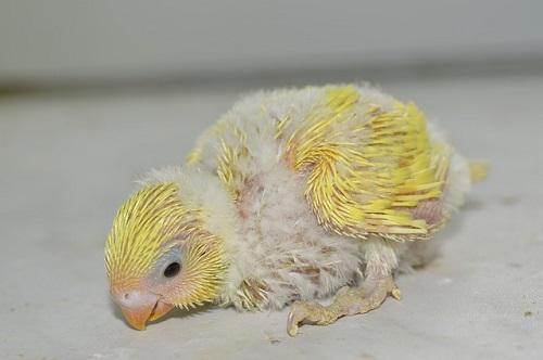 セキセイインコ 抱卵 期間 温度