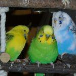 文鳥とセキセイインコの比較。飼うとしたらどっち?