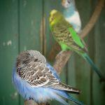 セキセイインコの換羽の時期について