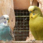 放鳥しているセキセイインコの抱卵の注意点
