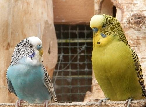 セキセイインコ 抱卵 放鳥