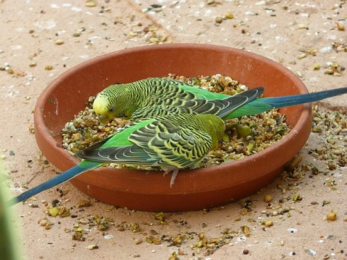 セキセイインコ 餌を食べない 老鳥