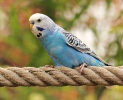 セキセイインコ 放鳥 飛ばない