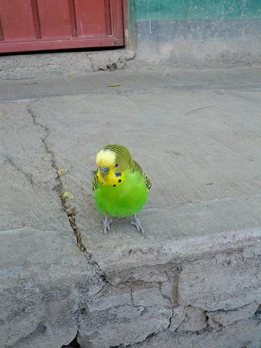 セキセイインコ 放鳥 戻らない