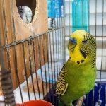 老鳥のセキセイインコの飼い方と餌の与え方