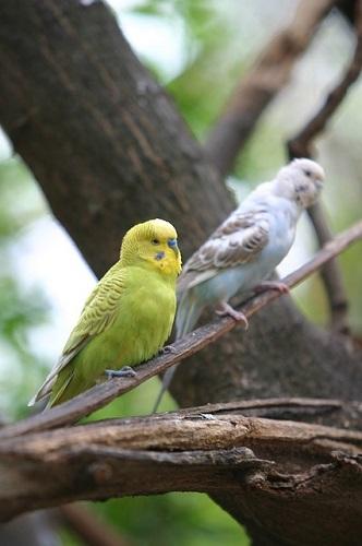 セキセイインコ 放鳥 糞